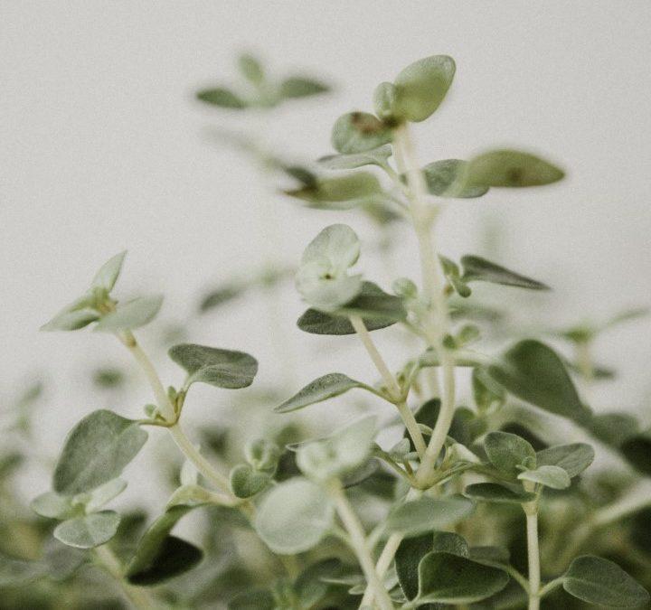 Herb Focus – Slippery elm bark